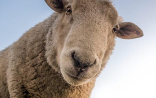 sheep and blue sky